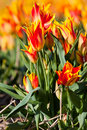 Free Red With Yellow Tulips In A Field Stock Images - 13963904