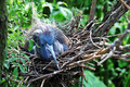 Free Nesting Little Blue Heron Royalty Free Stock Image - 13966246