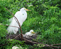 Free Egret Mom And Chick Royalty Free Stock Images - 13966269