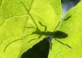 Free Bug Shadow (cerambyx Cerdo) Royalty Free Stock Photos - 13968858