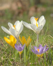 Free Crocuses Royalty Free Stock Images - 13969929