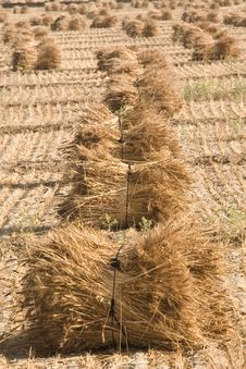 Free Paddy Crop At Final Stage Royalty Free Stock Images - 13960409