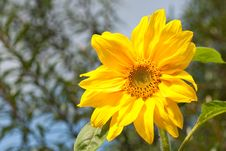 Free Yellow Flower Of Sunflower On Blue Sky Royalty Free Stock Images - 13960439