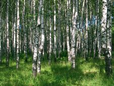 Free Birches 2858 Stock Photos - 13960453