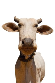 Free Cow 962 Royalty Free Stock Photos - 13960498