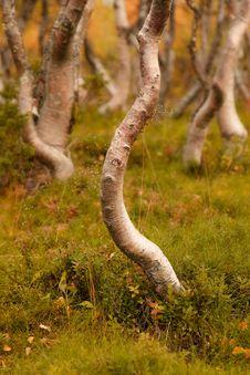 Free Mountain Birches Stock Photo - 13960670