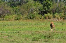 Free Lion Royalty Free Stock Photos - 13961088