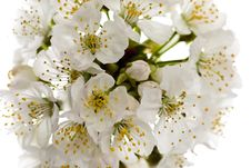 Free Cherry Blossom Isolated Royalty Free Stock Image - 13961246