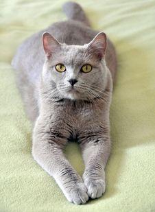 Free British Cat Stock Photography - 13961352