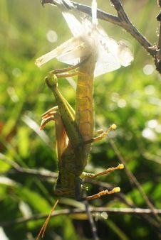 Free Grasshopper Changes Skin Royalty Free Stock Image - 13961516