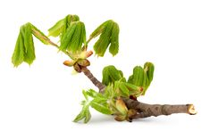 Free Branch Of Chestnut Stock Image - 13961591