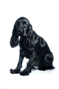 Free Cocker Spaniel Royalty Free Stock Image - 13962566
