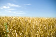 Free Wheat Field Under Blue Sky Stock Images - 13962774