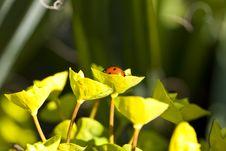 Free Ladybug Royalty Free Stock Images - 13963469