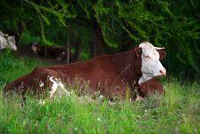 Cow In A Prairie Stock Photo