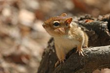 Free Chipmunk Royalty Free Stock Image - 13964356