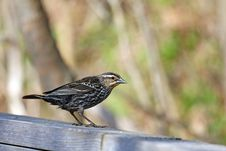 Free Red-winged Blackbird Female Royalty Free Stock Photography - 13964527