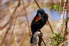 Free Red-winged Blackbird Male Royalty Free Stock Photo - 13964535
