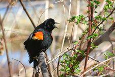 Red-winged Blackbird Male Stock Photo