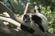Free Lemur Royalty Free Stock Image - 13965066