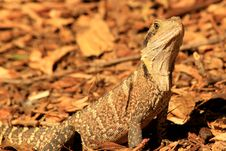 Free Australian Dragon Lizard Royalty Free Stock Photography - 13965367