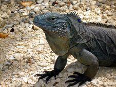 Free Endangered Blue Iguana Royalty Free Stock Photos - 13965628