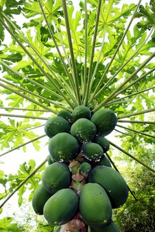 Free Papaya Stock Photography - 13965732