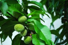 Fuzzy Peaches Growing Royalty Free Stock Images