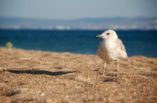 Free The Seagull On Sand Stock Photo - 13968240