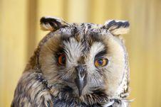 Free Long-eared Owl Stock Photo - 13968290