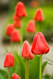 Free Tulip Royalty Free Stock Photos - 13968348