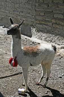Free A Young Lama Stock Photography - 13968392