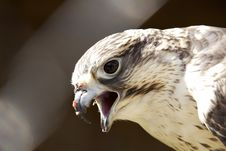 Free Golden Eagle Royalty Free Stock Image - 13968586