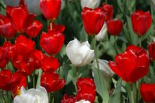 Free Waxy Red And White Tulips Stock Image - 13968651