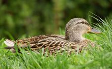 Free Female Mallard Duck Royalty Free Stock Photos - 13968928