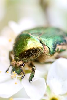 Free Green Bug (cetonia Aurata) Royalty Free Stock Photography - 13968957