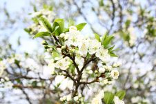 Blossoming Trees 1 Royalty Free Stock Photography