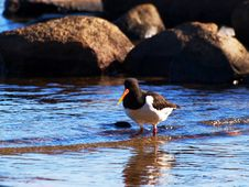 Free Oystercatcher Royalty Free Stock Photography - 13969487