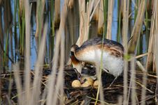 Crested Grebe With Eggs Royalty Free Stock Photos