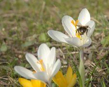 Free White Crocus Blossom Stock Images - 13969934