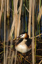 Free Crested Grebe On Nest Stock Photo - 13971130