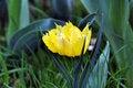 Free Yellow Tulip Stock Image - 13974291