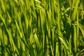 Free Fresh Spring Green Grass Close Up Royalty Free Stock Photography - 13977017