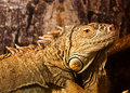 Free Green Iguana Royalty Free Stock Photos - 13978858