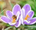 Free Bee On Flower Stock Photography - 13979292
