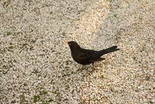 Free Black Bird Close-up Royalty Free Stock Photography - 13970027