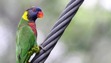 Free Rainbow Lory Stock Photos - 13970433