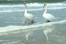 Two Swans Go On A Beach Among Waves Stock Photos