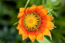 Free Orange Gazania Flower Royalty Free Stock Image - 13972036