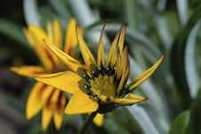 Free Gazania Flower Stock Photography - 13972052